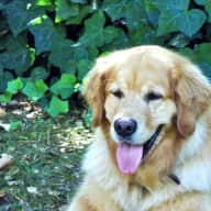 Pet/garden sitter needed for our Golden Retriever in SF Bay area