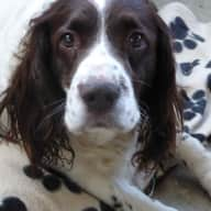 Gentle old Springer Spaniel in a spacious home close to York Racecourse.
