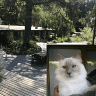 Would you care for our beautiful Birman cat at foot of Dandenong Ranges Victoria?