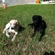 Pet sitter needed to take care of our 2 Labradors over the coming New Year for about 2 weeks.