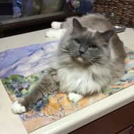 Several dates-ongoing needs....Care for my Ragdoll in the heart of  North Atlanta!