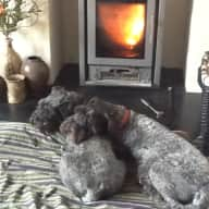 Pet sitter for our three loveable miniature schnauzers next February/March