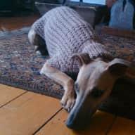 House/Pet Sitter needed for house and polite whippet in Stockbridge, Edinburgh