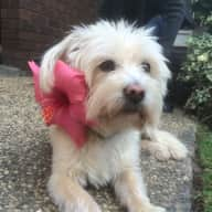 Elderly loveable Cairn Terrier who needs extra care due to vision and hearing loss with insulin doses. Low intensity walk( an amble for half a block once  or twice a day)