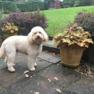 Gorgeous labradoodle in Leafy Sussex needs you