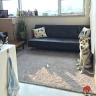 Dog sitter need in South Korea