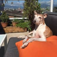 Pet/home sitter for 13 yr old Italian Greyhound