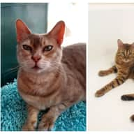 Pet sitter needed for 2 Bengal cats