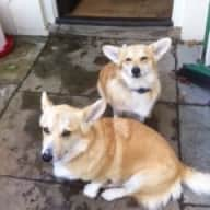 Lovely country house set in 11 acres. A couple would be ideal.  They need to look after my two very gentle corgi dogs, Bryn and Brawdy. They are extremely well behaved but best put on leads when walking on the lanes they can run off leads when in the fields.  They are patient and will happily sit in their beds while you are watching television. They like to be with you.  They do not have to be got up in the morning before about 8.30am.  They have the same parentage but are 18 months apart in age.   At the moment there are no hens, I had to have them rehomed because I was not well enough to get up into the paddock to look after them.   Be aware of the security of the house.  I need sitters while I go away for ten days