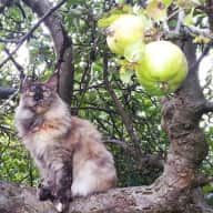 Beautiful Maine Coon cat looking for loving cat-and house-sitter - mid Jan to mid Feb 2016