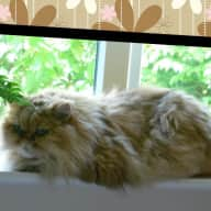 We are looking for a kind Pet sitter for our 2 Persian cats