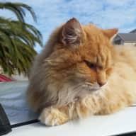 Cat loving housesitter wanted
