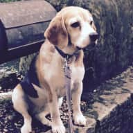 Patient and attentive sitters for Molly beagle