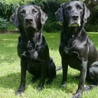 Pet sitter needed for lovely labradors