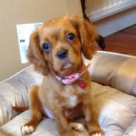 Six Month Old Cavalier Needs Love❤️