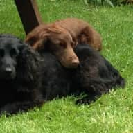 house sitter needed for our 2 cocker spaniels for 11 nights in christchurch dorset uk