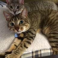 Cat-Sitter Needed September 8th-November 1st in Minneapolis