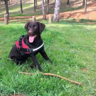Individual, couple or family sought to sit our lovely chocolate labrador