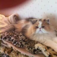 Pet sitter needed for two indoor long haired cats