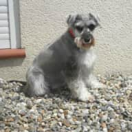 Pet & Housesitters needed for my schnauzer inFrance december2016  to January 2017