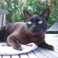 Sitter required for beautiful burmese cat and home near Cambridge