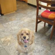 Dog Sit Russell Cocker Spaniel 12yrs old