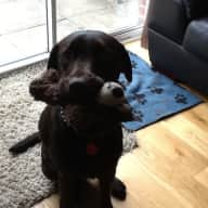 12 month lovely young  labrador  Trowbridge