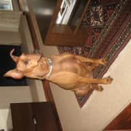 House and 2 dogs (a 7 year old very active German Pinscher and a German Shepherd puppy) required for 3 weeks in June/July.