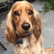 Need my adorable 5 year old cocker spaniel dog sitted