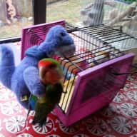 Pet sitter needed for a sweet little Lovebird