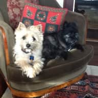Seeking petsitter/s for our two beloved Cairn terriers in Victoria, Canada for two weeks in May 2015 and possibly month of October.