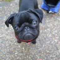House sitting required for two lovely Pugs