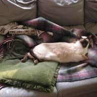 pet sitter for one Siamese rescue cat