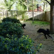 victorian house in historic hyattsville, md, 5 min. north of DC , 3 labradoodles, 1 cat, big fenced-in yard