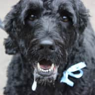 URGENT - Pet Sitter needed for our 2 Portuguese Water Dogs and 6 hens in North Yorkshire