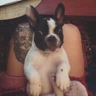 Lovely french bulldog needs a sitter