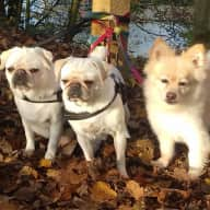 Three Pugs and a Pom!!