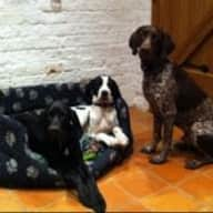Pet sitter needed for 3 pointers x springers