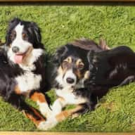 2 Gorgeous Border Collies need a friend for 2 weeks