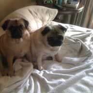 Someone to love my 3 pugs and one old cat for 3 weeks. I am happy to pay for the right person/people.