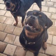 Live in care for our 2 Rottweilers for a month