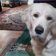 Sitter required golden retriever in London