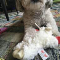 Happy friendly urban Shih Poo with personality
