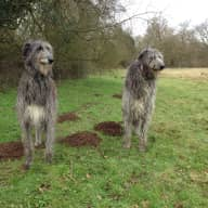 Amazing Scottish Deerhounds need a sitter at home