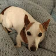 House sitters wanted for Rex a friendly Jack Russell and Tallulah the adorable cat