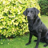 Pet/House sitter required for my Labrador for 2 weeks end of May/June some flexibility on dates