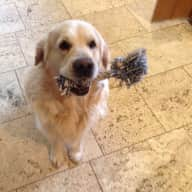 Pet/house sitter wanted for my two golden retrievers, cat and three chickens