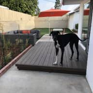 Great Dane Needs Love in Playa del Rey!