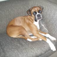Pet sitter needed for 2 medium size dogs (Boxer & Rottie X).  Rottie X is an older dog (13 yrs).