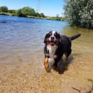 Dogs (Bernese) Sitter very near London